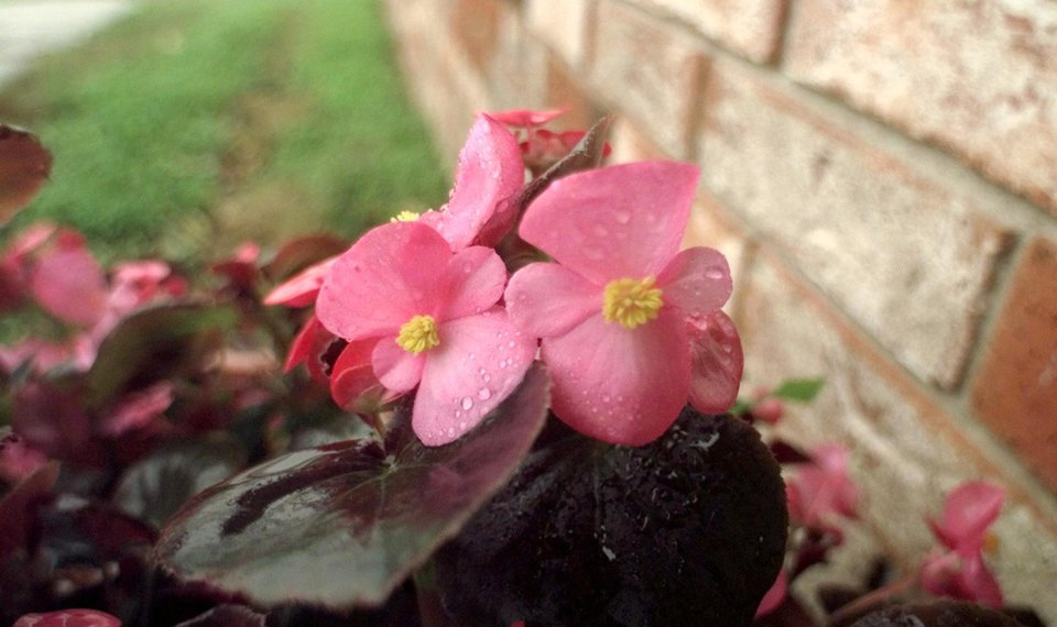 Related Photos RAIN ON BEGONIAS