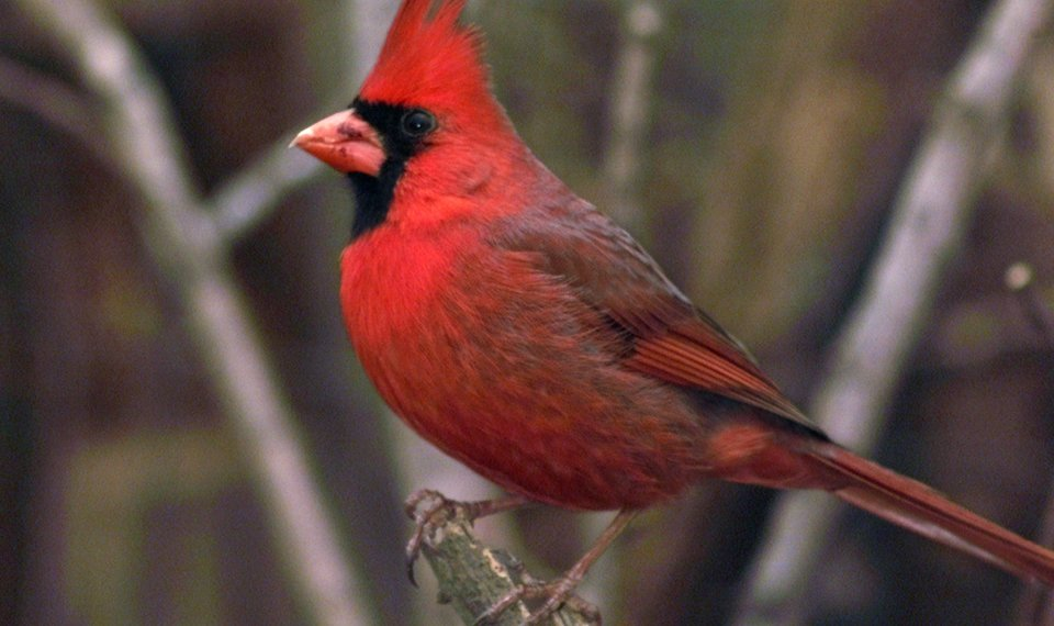 Nature You The Cardinal Is A Popular Bird That Is Known To All
