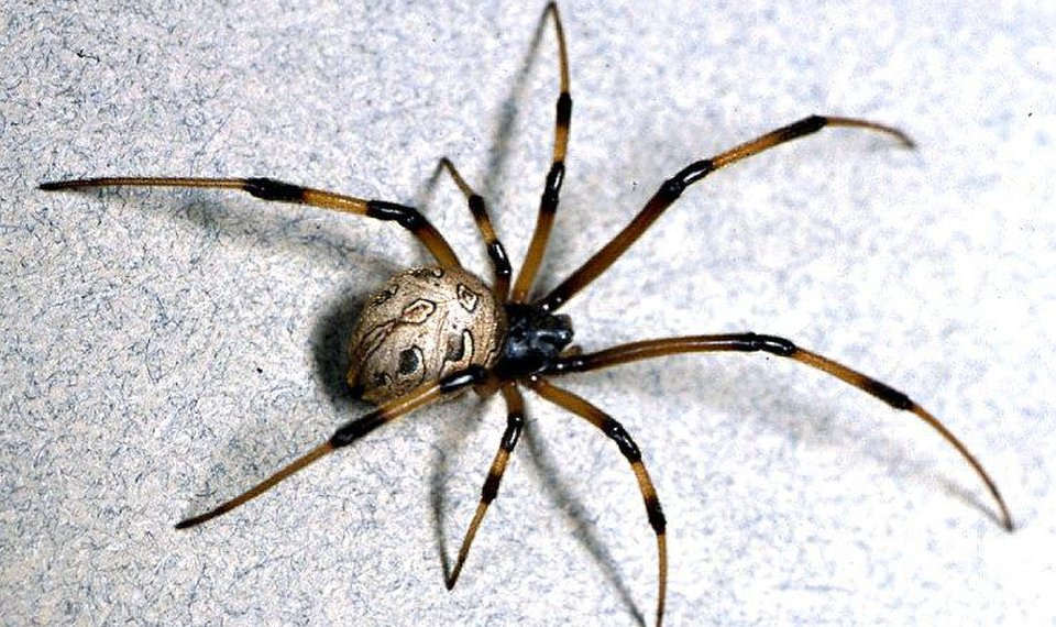 Watch For Spiders In Your Holiday Decorations