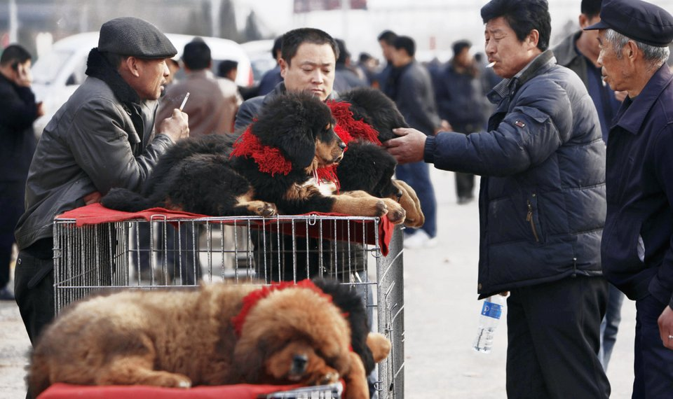 Tibetan dogs fetch big prices in China