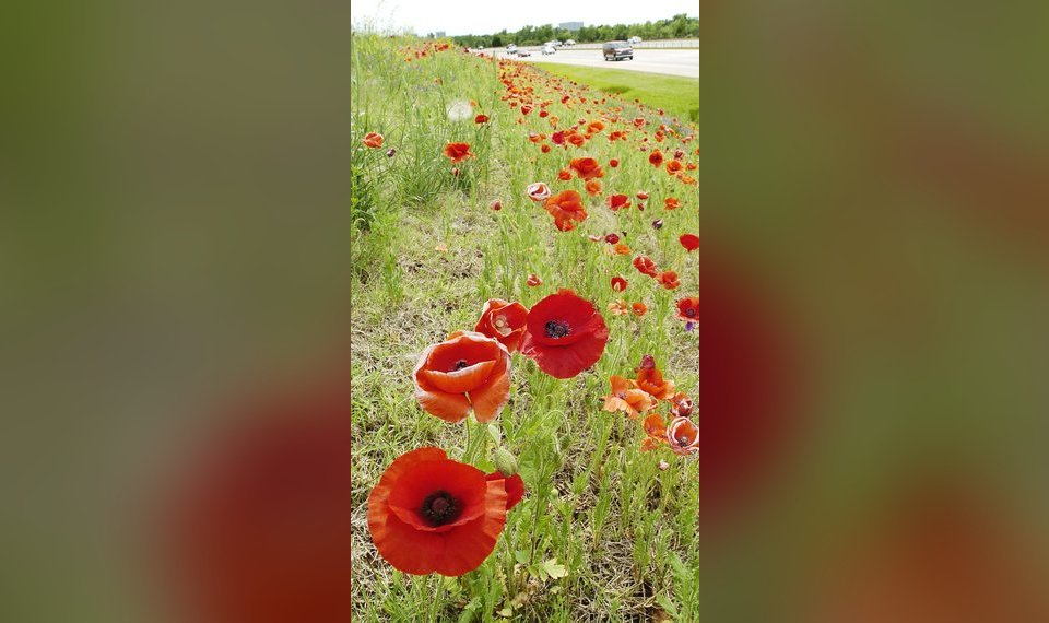 The Archivist Poppies Popularity As Memorial Flower Grew Out Of Wwi