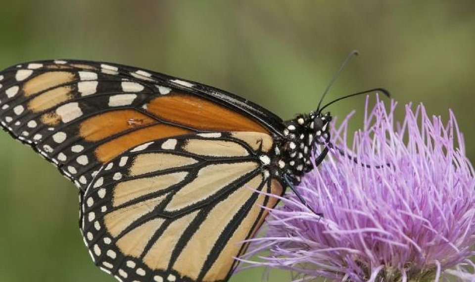 Monarchs are in peril but Okies can help