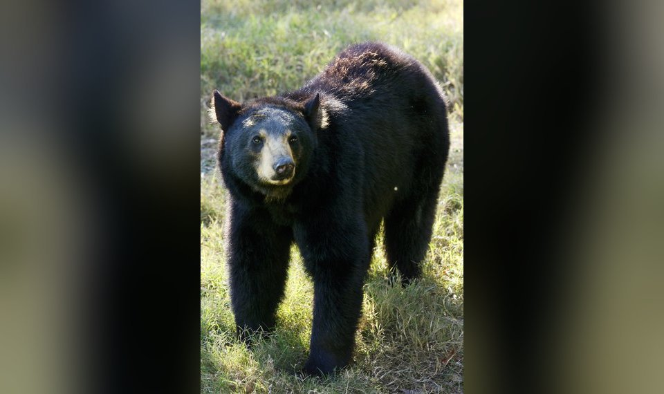THE BEAR NECESSITIES: It's been a busy spring for Oklahoma's black bears