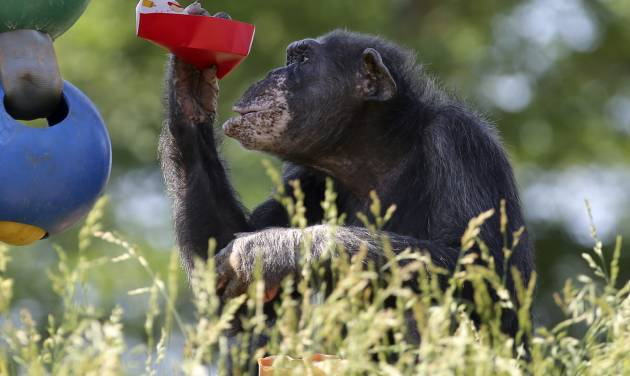 OKC Zoo celebrates Cindy the Chimps 50th birthday