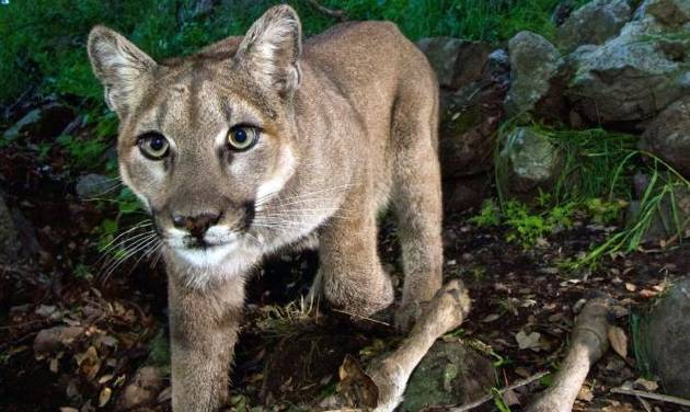 This photo of a mountain lion was taken from a remote camera in the Santa Monica Mountains National Recreation Area in California. Oklahoma...