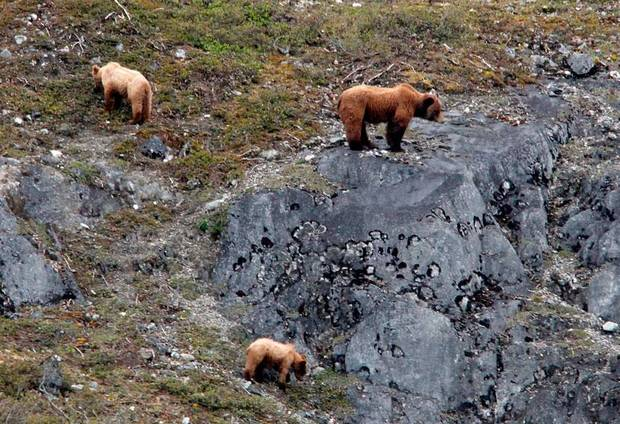 A bear and two cubs look for food in Glacier Bay National Park in Alaska, Thursday, June 7, 2012.  Photo by Sarah Phipps, The Oklahoman