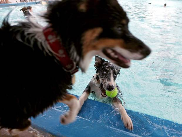Doc Holiday (bottom) and other dogs swim and play during the Dog Park Pooch Pool Party at Westwood Swimming Pool in Oklahoma City on Sunday, August 29, 2010. Photo by John Clanton, The Oklahoman ORG XMIT: KOD