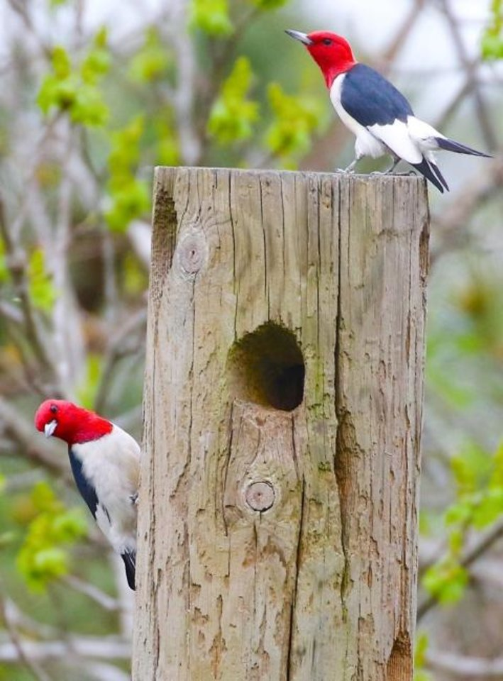 Photo -  Red-headed woodpeckers are nomadic and declining in numbers. They hoard acorns and rely on abundant nut crops. [PRISCILLA MORRIS/CORNELL LAB OF ORNITHOLOGY]
