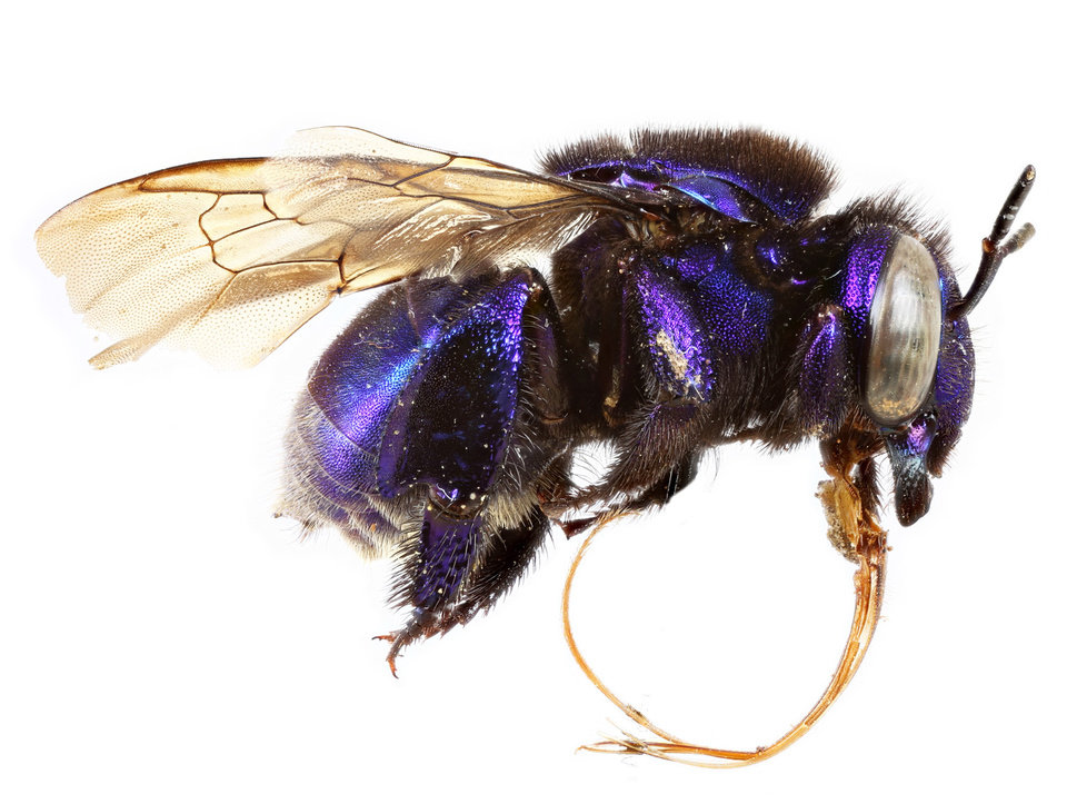 Photo -  John Barthell, the provost of the University of Central Oklahoma, has had a new species of bee, Eufriesea barthelli, named for him. The female is blue-purple. [Photo provided]