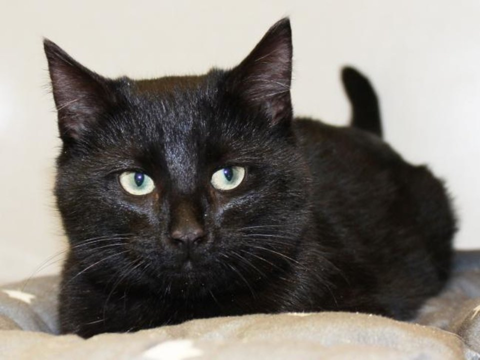 Photo -  Countess is a 4-month-old black domestic shorthair cat. She is friendly and playful. Countess is available for adoption from the Edmond Animal Welfare Shelter, 2424 Old Timbers Drive. Her adoption fee is $25. Call 405-216-7615. [PHOTO PROVIDED]