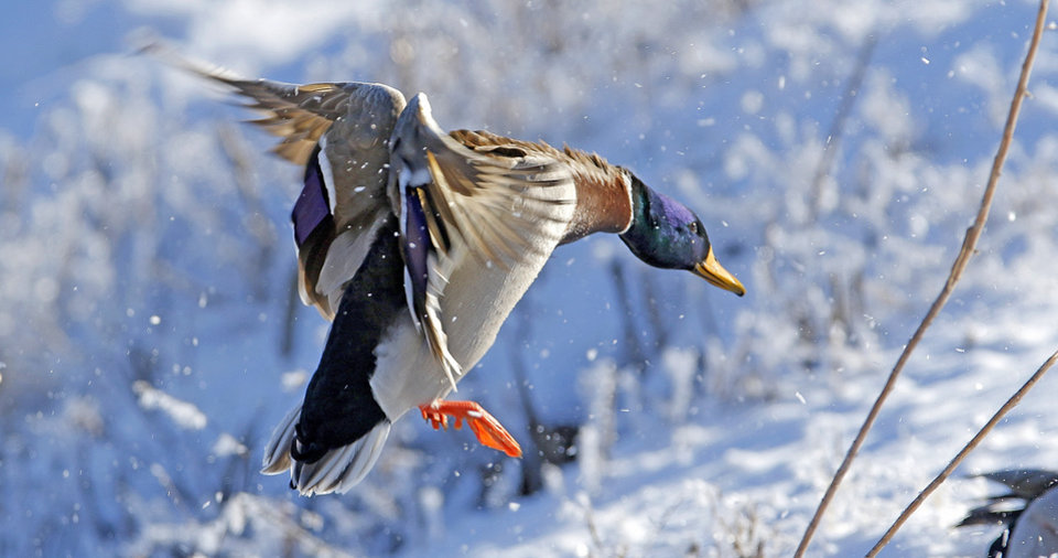 Photo -  The population of mallards has declined from last year, but are still above the long-term average, according to the U.S. Fish and Wildlife Service. [PHOTO BY STEVE GOOCH]