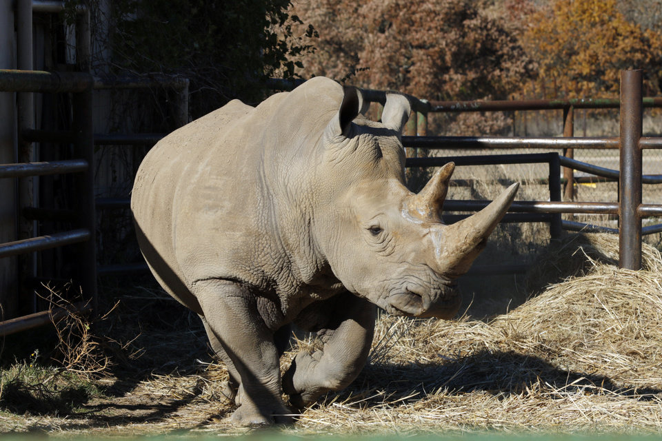 Photo -  A male African Southern White Rhino is seen at Arbuckle Wilderness Park. [Photo by Steve Sisney, The Oklahoman]