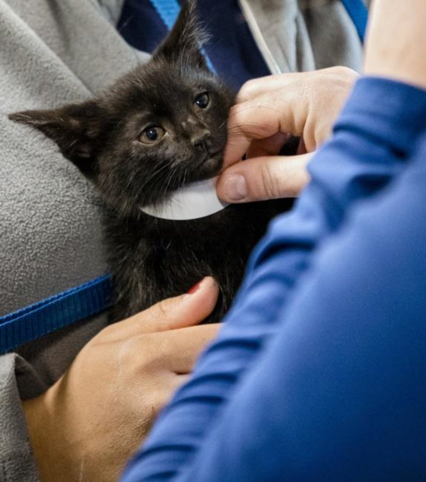 Photo -  A kitten gets a collar as it is checked into the Oklahoma Humane Society's mobile veterinary care unit as part of Best Friends of Pets' new