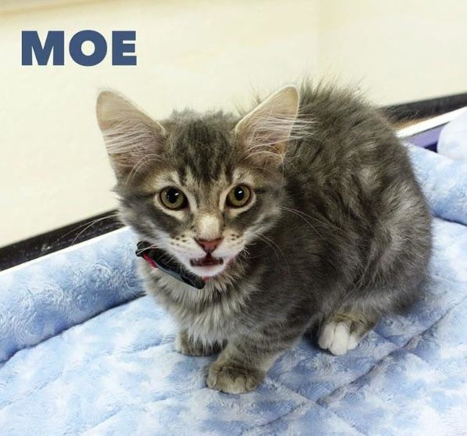 Photo - From the Central Oklahoma Humane Society's Instagram account (@okhumane): Everyone meet Moe from the kitty trio of Meeny, Miny, and Moe! He is a three-month-old domestic medium-hair/mix. Moe is very spunky, playful and is looking for his forever playmate. Stop by the Adoption Center today until 7PM to meet him! 7500 N. Western.
