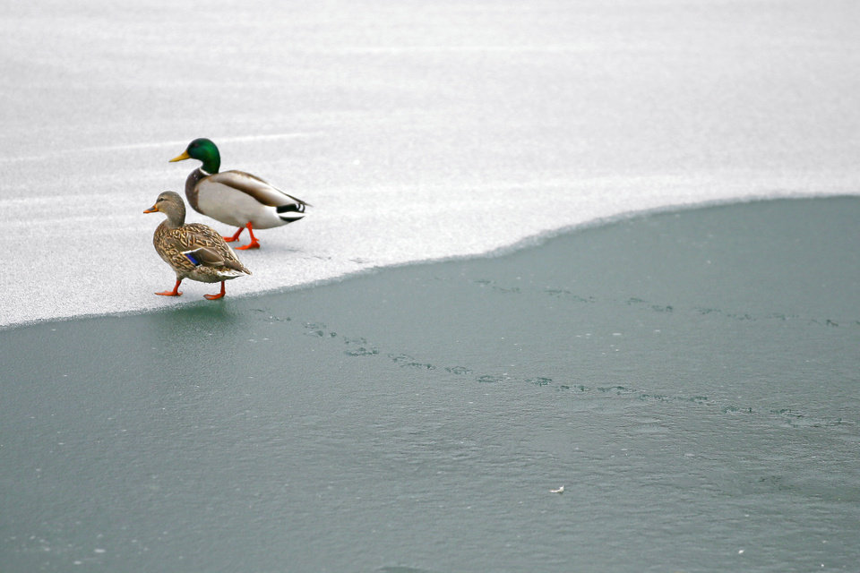 Photo - Ducks walk over a frozen pond at Hafer Park in Edmond, Okla., Wednesday, Feb. 10, 2021. [Bryan Terry/The Oklahoman]