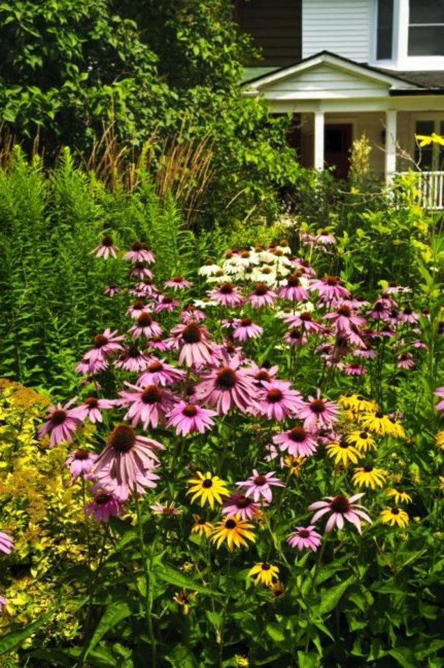 Photo -  A home landscaped garden with purple echinacea coneflowers and plants. [MYRIAD BOTANICAL GARDENS]