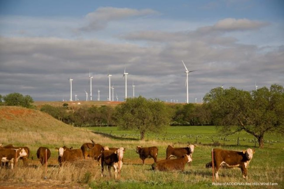 Photo -  Cattle graze pasture near the Red Hills Wind Farm in western Oklahoma. [PROVIDED BY ACCIONA]