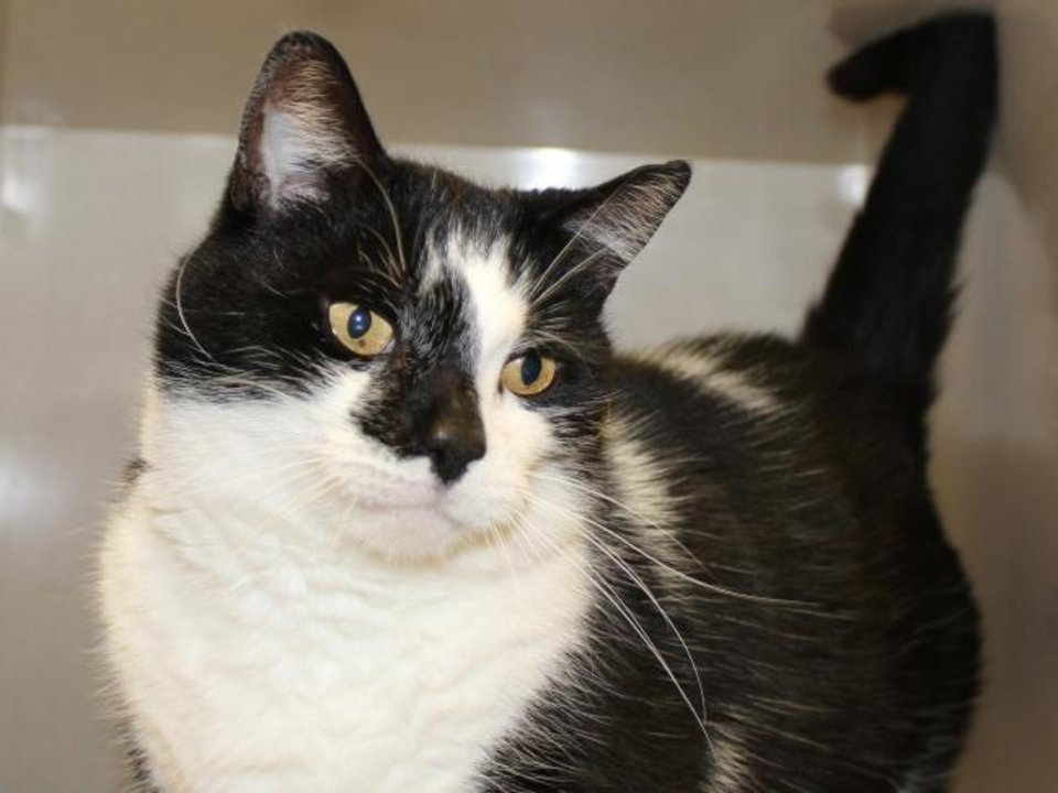 Photo -  Tony is a 3-year-old male black-and-white domestic shorthair cat looking for love. He is so cute with all his curly whiskers. Tony is available for adoption from the Edmond Animal Welfare Shelter, 2424 Old Timbers Drive. His adoption fee is $25. Call 405-216-7615. [PHOTO PROVIDED]