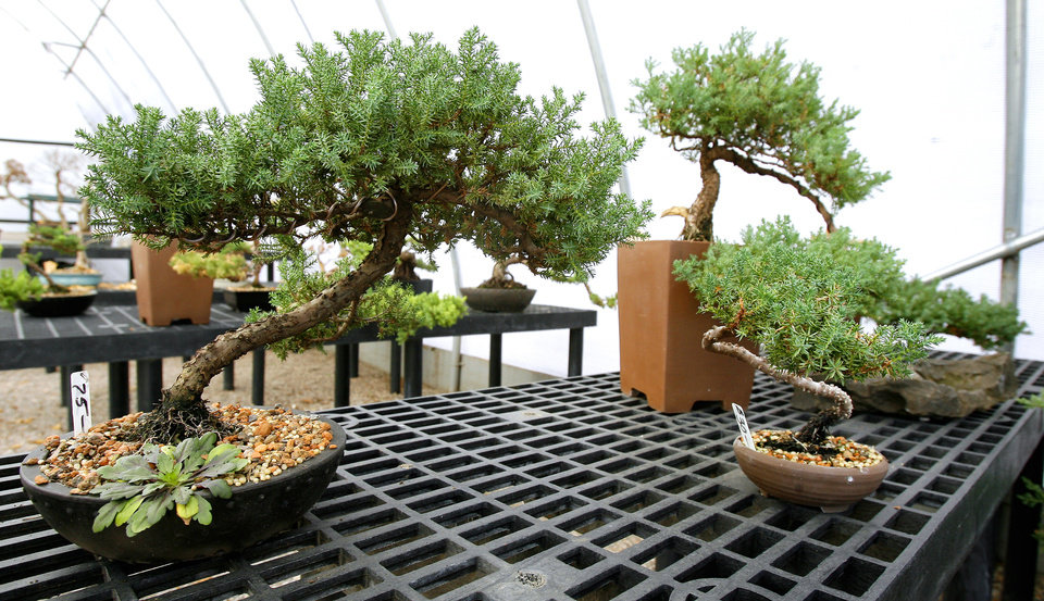Juniper Bonsai Trees At Dale Haworth S Home In Logan County Wednesday Jan 21 2009 By Paul B Southerland The Oklahoman Org Xmit Kod