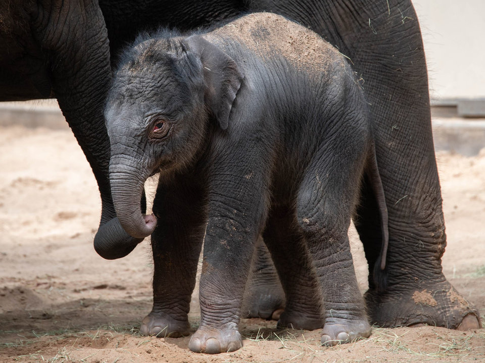 Photo -  Zoo officials on Wednesday announced the birth of a female elephant calf named Kairavi. [Photo provided by the OKC Zoo]