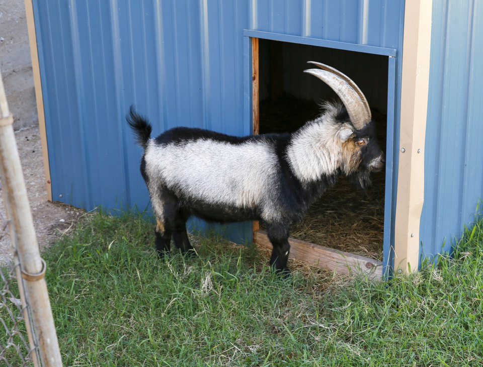 Photo -  Ricky, a pygmy goat, is seen at FAME Academy. Ricky is one of two pygmy goats at the school. The other is Lucy. [Photo by Nate Billings, The Oklahoman]