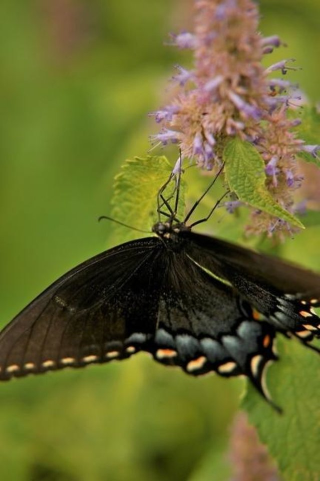 Photo -  The official Oklahoma state butterfly is the Black Swallowtail. [PHOTO PROVIDED]
