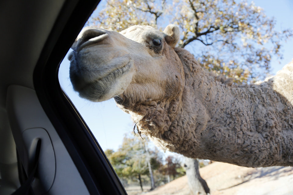 Photo -  A dromedary camel sticks its snout in a vehicle window at Arbuckle Wilderness Park. [Photo by Steve Sisney, The Oklahoman]