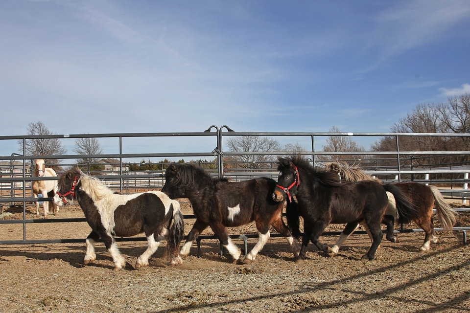 Photo -  A group of recently acquired miniature horses run in their paddock at Nexus Equine in Edmond. [AP PHOTO]