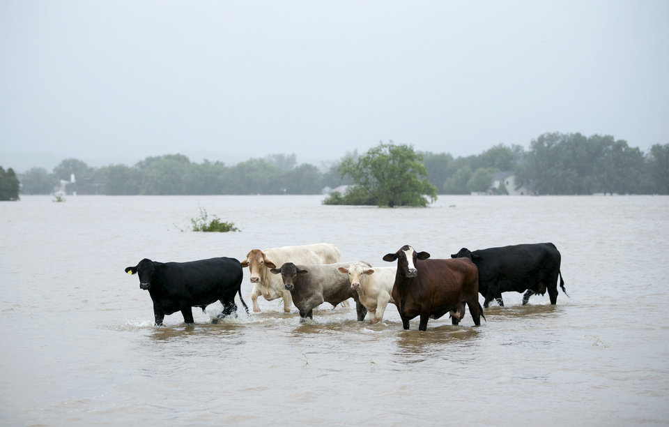 Photo - Cattle are stranded in a flooded pasture on Highway 71 in La Grange, Texas, after Hurricane Harvey on Monday, Aug. 28, 2017. (Jay Janner/Austin American-Statesman via AP)