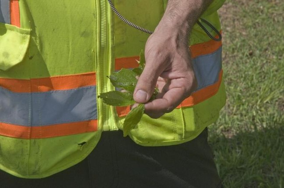 Photo -  Beals examines a leaf he collected from a tree during an on-site survey in Oklahoma City. Davey Tree Service is working with the Oklahoma Department of Agriculture, Food and Forestry, the Association of Central Oklahoma Governments and the Oklahoma City Community Foundation to assemble a comprehensive tree cover survey of urbanized areas in the Oklahoma City metropolitan area.