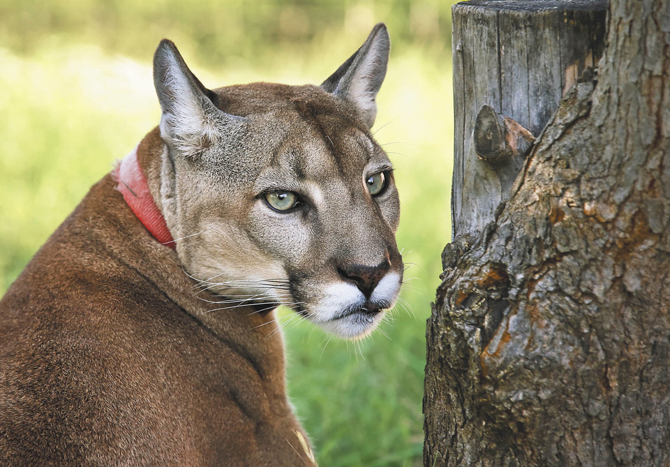 gresham cougar women Older women main culprits as more than 50 per cent of jamaica's teenage boys engage in transactional sexmore than 50 per cent of  a 'cougar' posing with her .