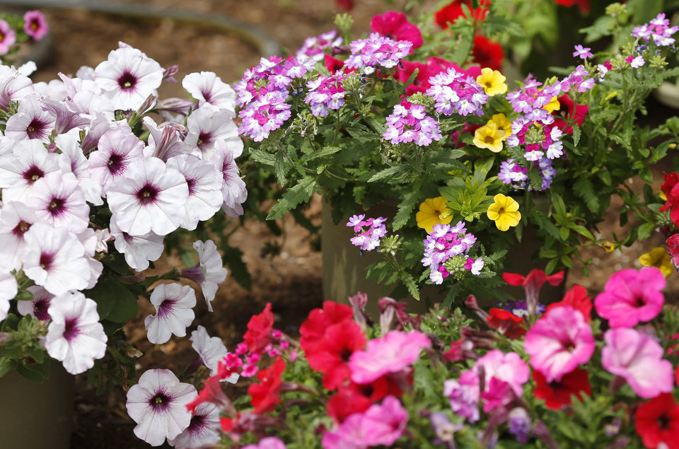 Photo -  A mix of colorful bedding plants at Marcum's Nursery, 2121 SW 119.  [JIM BECKEL/THE OKLAHOMAN]