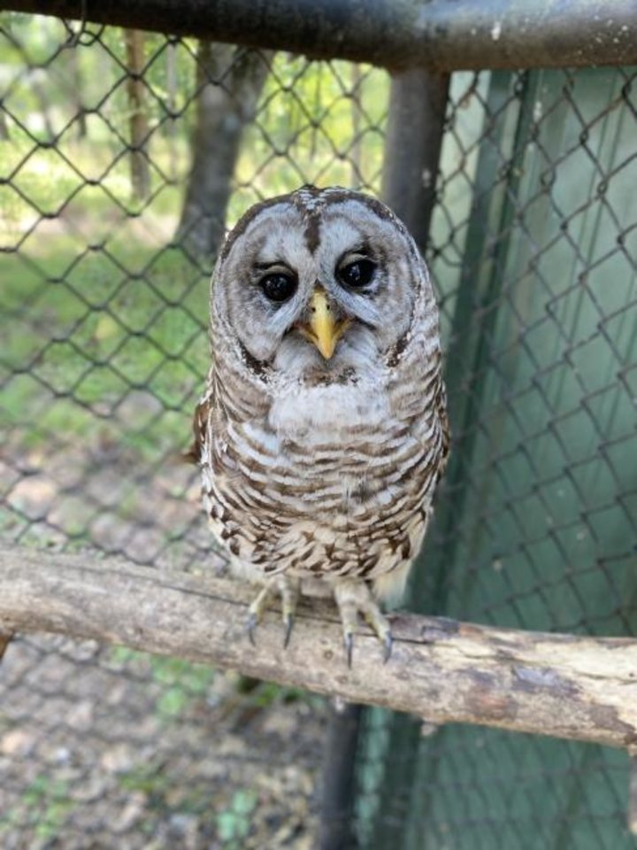 Photo -  Pretty Girl, a barred owl, resides at Sequoyah State Park. [Oklahoma Tourism]