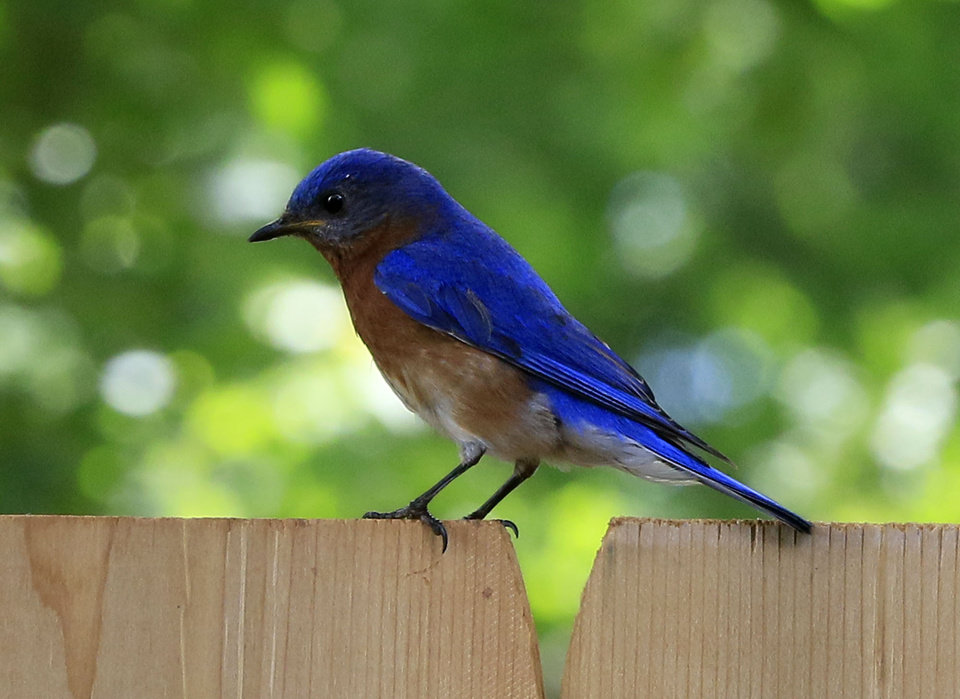 Photo - This Eastern Bluebird was seen perched on a fence in Edmond this week [PHOTO BY PAUL HELLSTERN, THE OKLAHOMAN.]