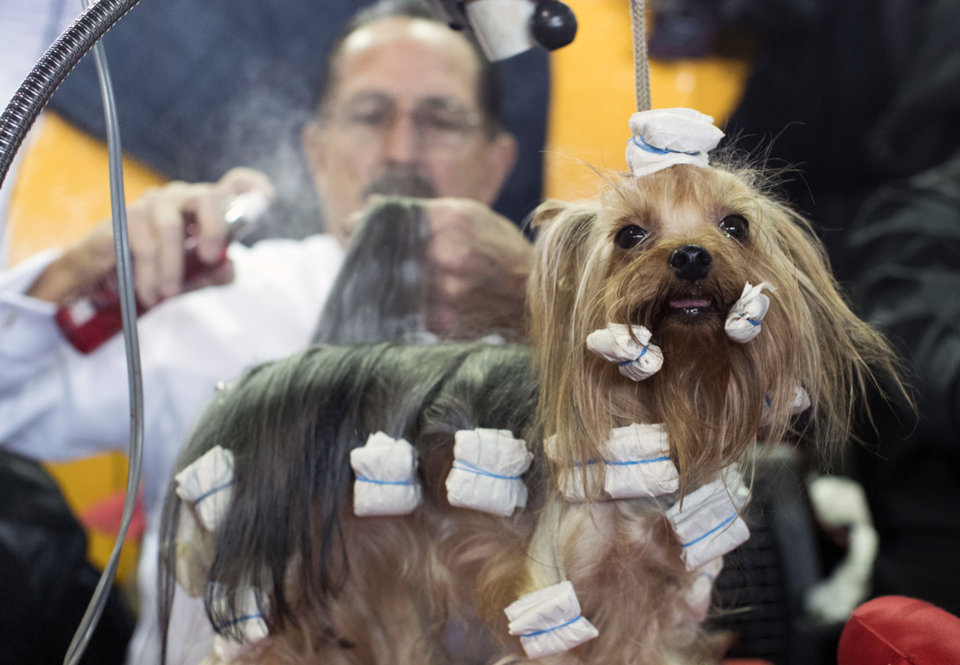 Pooches, primped and prized: At the 141st Westminster ...