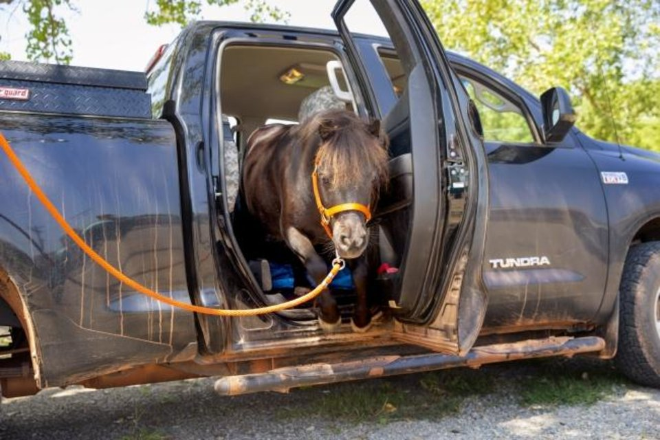 Photo -  BB, the miniature horse Oklahoma State University has adopted as a mascot for gameday, exits the truck of Rachel Royston, his owner, at Turning Point Ranch in Stillwater, Okla., Tuesday, Sept. 3, 2019.[Bryan Terry/The Oklahoman]