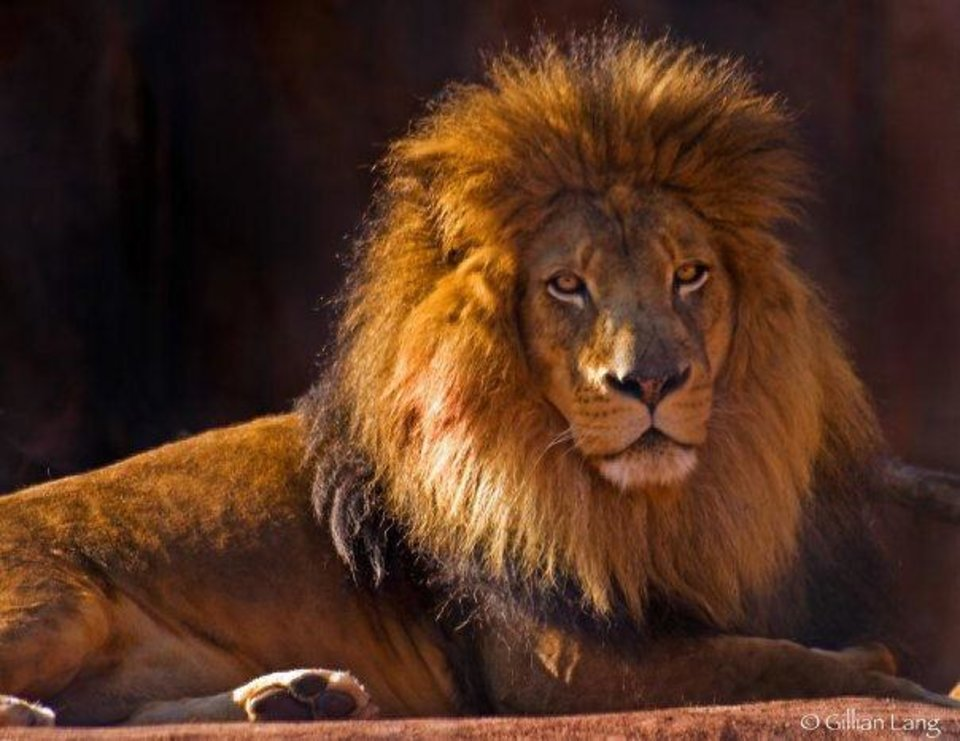 Aslan, a popular lion at the Oklahoma City Zoo, has been euthanized