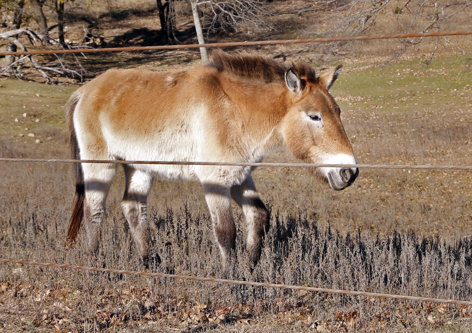 Photo -  A rare Mongolian Przewalski's horse is shown at Arbuckle Wilderness Park. [Photo by Steve Sisney, The Oklahoman]