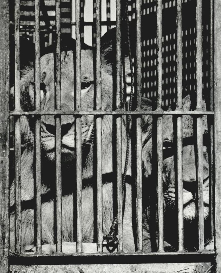 Photo - Sept. 22, 1987: Two caged lions peer out between bars between performances at the Ringling Bros. and Barnum & Bailey Circus. [Photo by David McDaniel, The Oklahoman Archives]