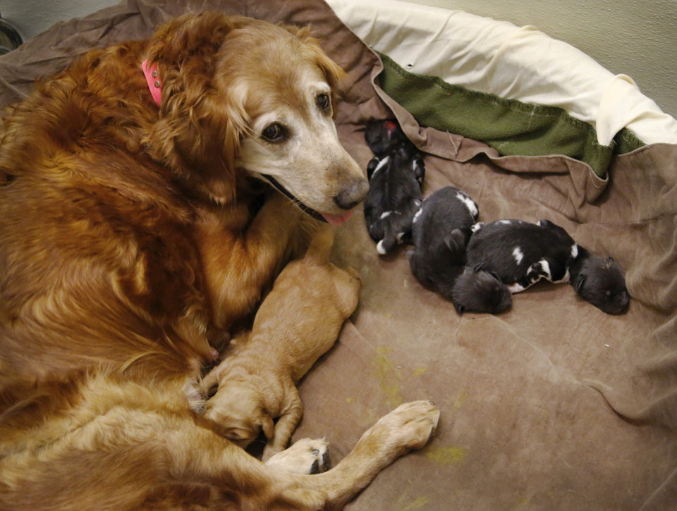 Photo -  African wild dog puppies, born last week at the Oklahoma City Zoo, are being nursed and cared for by Lilly, a golden retriever, after the natural mother of the puppies showed no maternal instincts. The dog nursing near bottom of the photo is one of Lilly's pups. Photo by Jim Beckel, The Oklahoman   Jim Beckel -  THE OKLAHOMAN