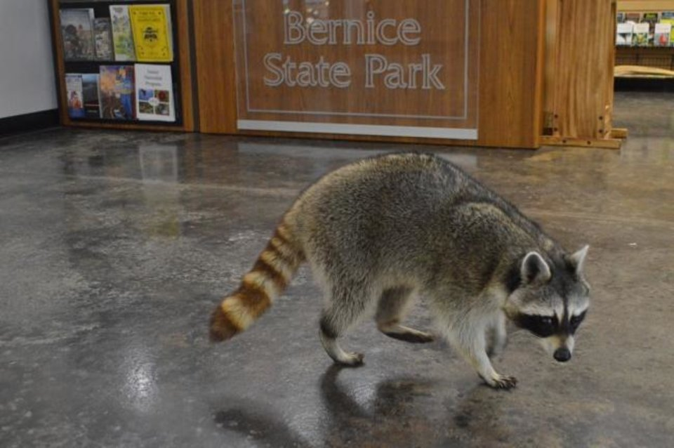 Photo -  Grand Lake State Park-Bernice Area and Nature Center is home to Henry, a 2-year-old blind raccoon. [Oklahoma Tourism]