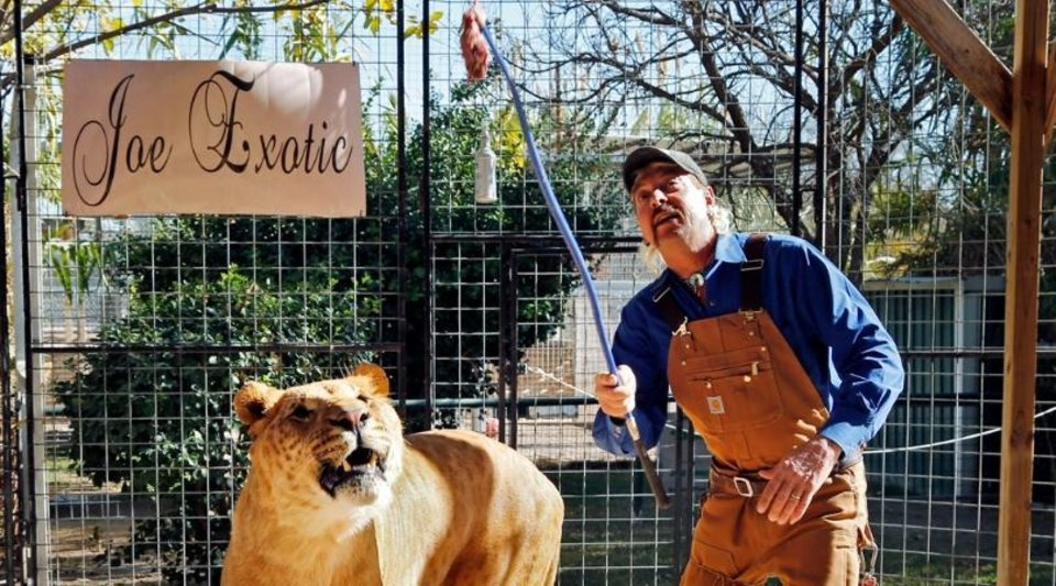 Photo - Joe Maldonado works with Boco, the male Li-Liger at Greater Wynnewood Exotic Animal Park on Thursday, Dec. 1, 2016 in Wynnewood, Okla.  [Photo by Steve Sisney, The Oklahoman archives]
