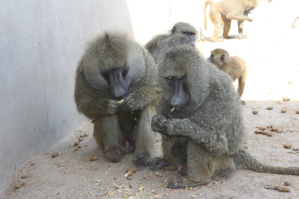 Photo -  Baboons are shown inside the Fort Reno Science Park in El Reno. The facility belongs to OU and is funded by grants provided by the National Institutes of Health. [Photo provided by OU Health Sciences Center]