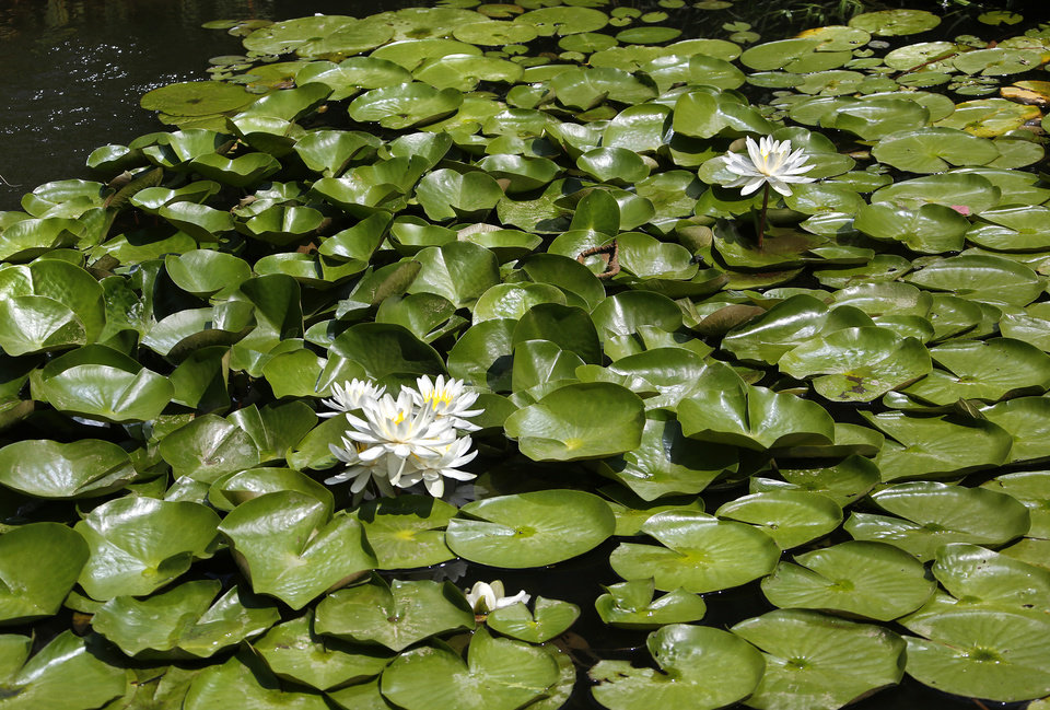 Photo - Waterlily. Myriad Botanical Gardens is an oasis of a myriad beautiful flowers, plants, trees and water displays surrounded by downtown streets and nestled among skyscrapers and office buildings. Photo taken July 11, 2019.  [Jim Beckel/The Oklahoman]