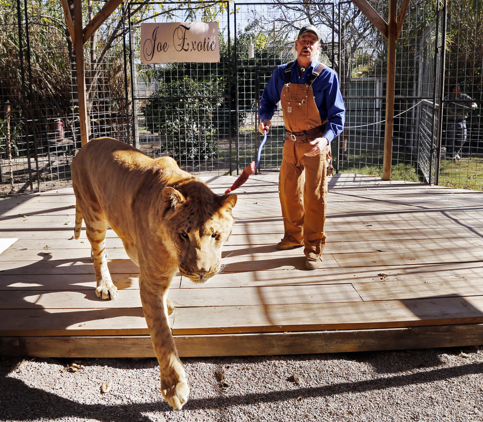 Photo -  Joe Maldonado works with Boco, the male liliger at Greater Wynnewood Exotic Animal Park in Wynnewood. [Photo by Steve Sisney, The Oklahoman]