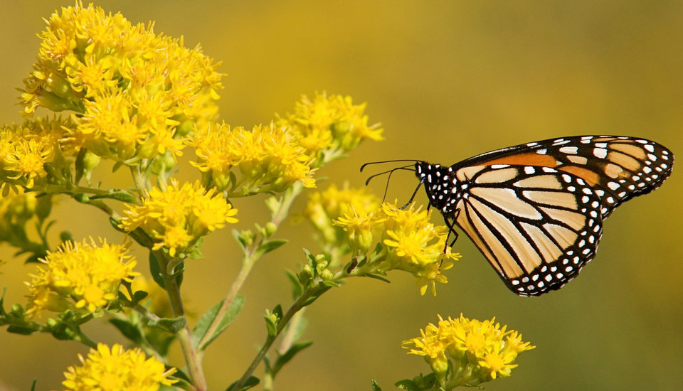 Photo -  A monarch butterfly gathers food. [Photos provided by the Nature Conservancy]