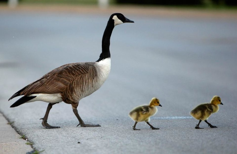 Photo -  A family of geese cross the road on OPUBCO properties in Oklahoma Cit., Thursday, May 17, 2012. Photo by Sarah Phipps, The Oklahoman