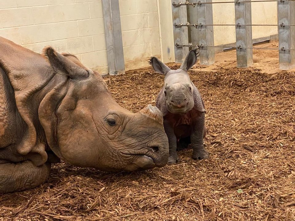 Photo - The Oklahoma City Zoo is inviting the public to vote on names for its baby female Indian rhino, which was born Oct. 23. She is the second offspring for Niki, 13. [Katie Van Singel photo]