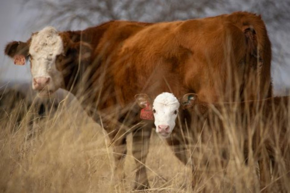 Photo -  Cows and new born calfs on the south range of Oklahoma State University's Range Research Area are pictured. [OKLAHOMA STATE UNIVERSITY/PROVIDED]