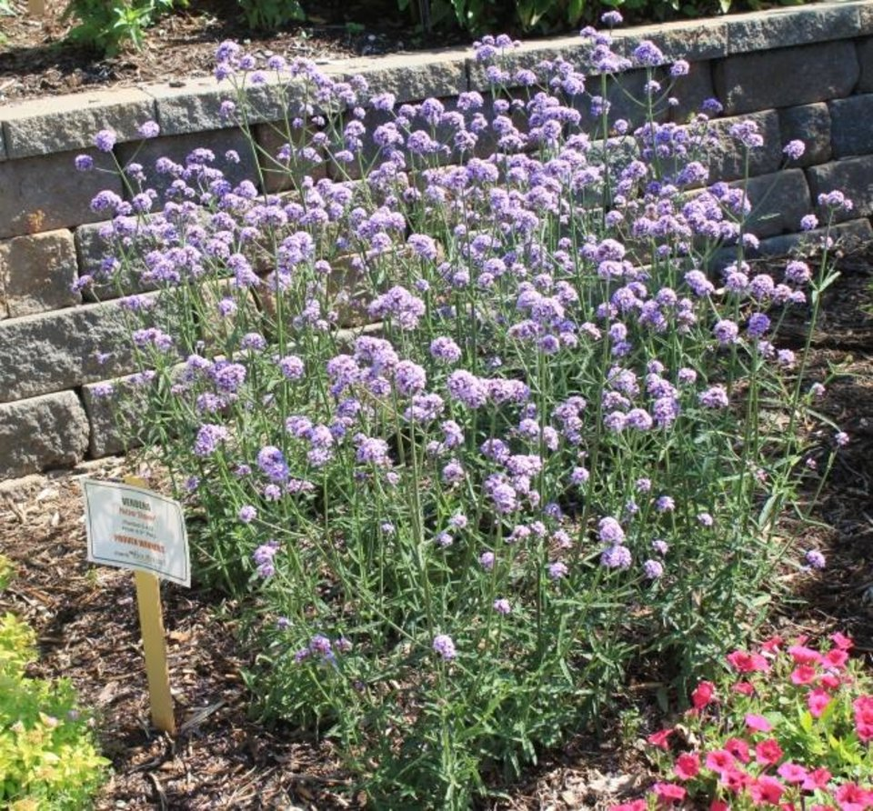 Photo -  Brazilian verbena is an unusual and fun selection for your flower garden.  [PHOTO PROVIDED/OSU EXTENSION]
